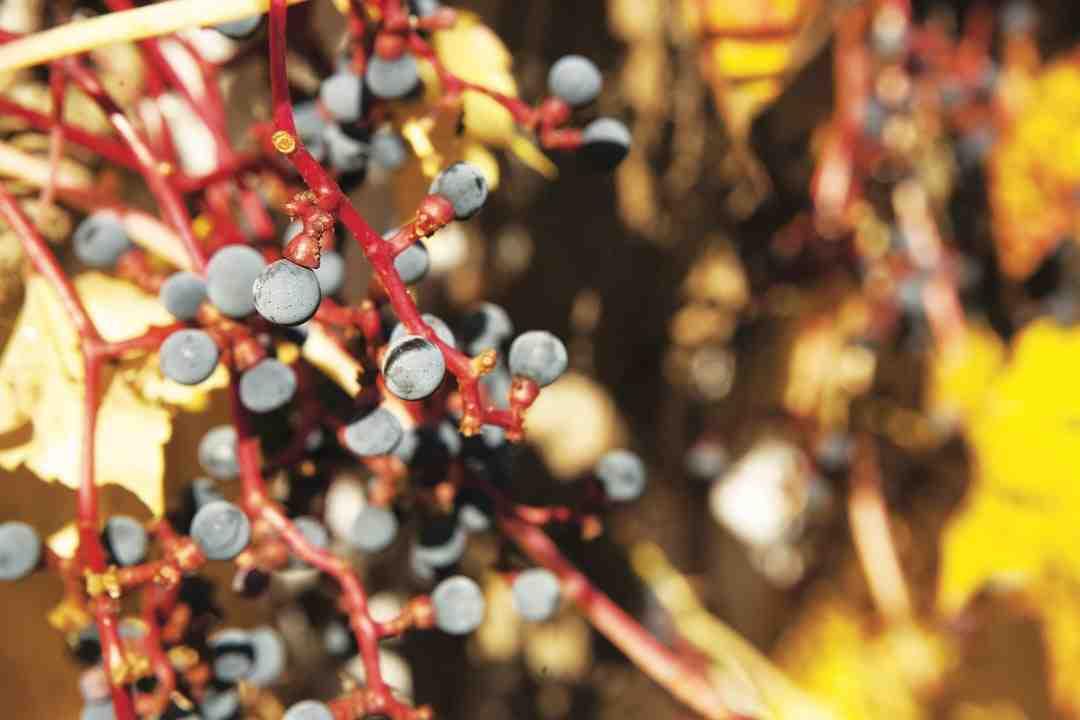 Comment congeler les raisins?